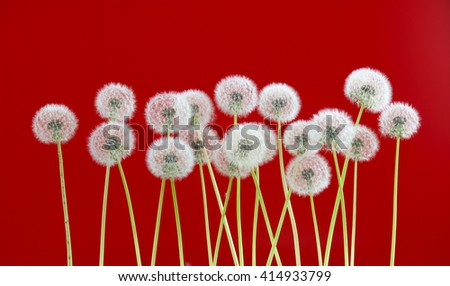 dandelion flower on red color background, many closeup object - stock photo