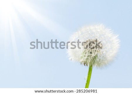 Dandelion flower over blue sky background with copy space - stock photo