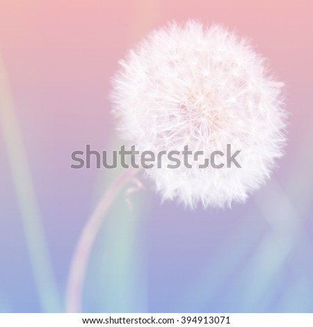 Dandelion flower over pink and blue colored background, boho style colors - stock photo