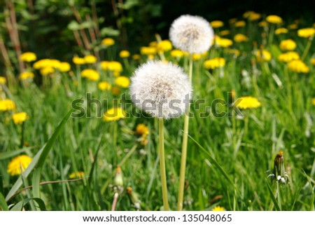 Dandelion flower seeds in green grass, spring photo