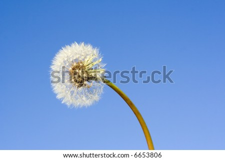 Dandelion flower under blue sky detail - stock photo