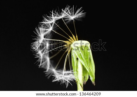 Dandelion flower with partially blown pappus on black background - stock photo