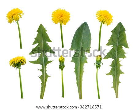 Dandelion flowers, buds and leaves isolated on white