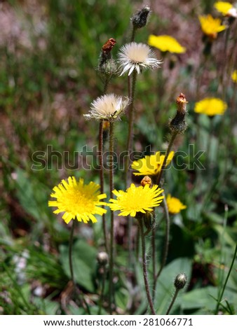 dandelion flowers growing in a yard - stock photo