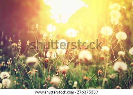 Dandelion flowers in summer sunset light.  - stock photo
