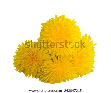 Dandelion flowers  isolated on white background. - stock photo