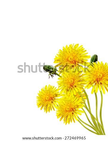 dandelion flowers isolated on white background - stock photo