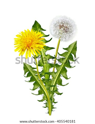 dandelion flowers isolated on white background - stock photo