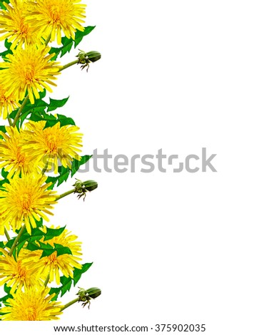 dandelion flowers isolated on white background. yellow flower - stock photo