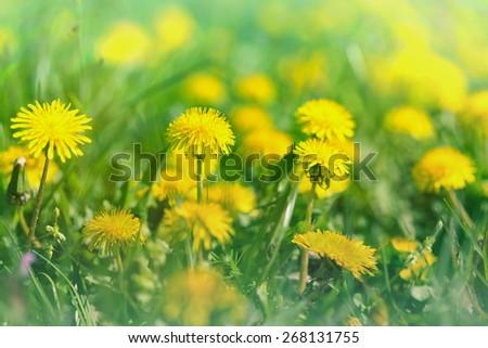 Dandelion flowers - meadow flowers - stock photo