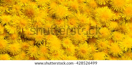 Dandelion flowers solid cover big size panorama - stock photo