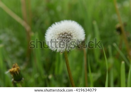 Dandelion Flowers with Grass background, selective focus and Relaxation and Clam feeling, Dark Tone Color