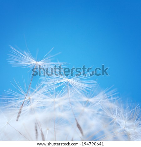 Dandelion fluff on a blue background - stock photo