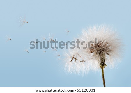 Dandelion flying against a soft blue sky. - stock photo