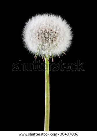 Dandelion head full of seeds isolated on black background - stock photo