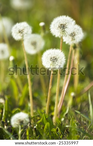 dandelion head on the spring meadow - stock photo
