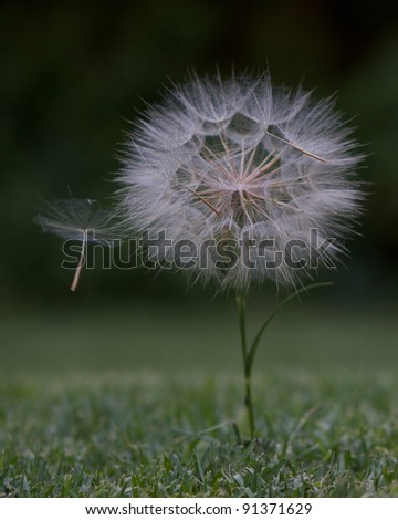 Dandelion head with loose seed blowing in wind - stock photo