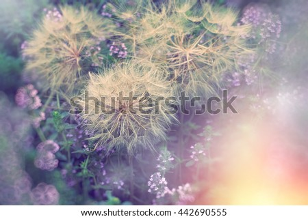 Dandelion head with seeds in meadow with thyme flower - stock photo
