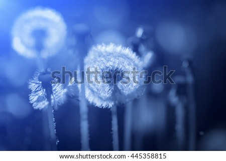 Dandelion in a meadow at night - stock photo