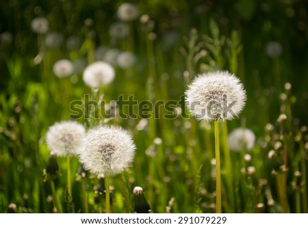 Dandelion in a meadow on a dark green background. Dark Vignette and selective focus - stock photo