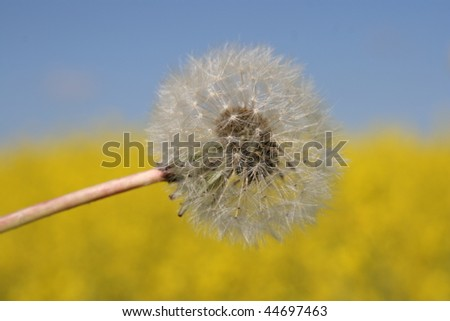 Dandelion in front of rapeseed - stock photo