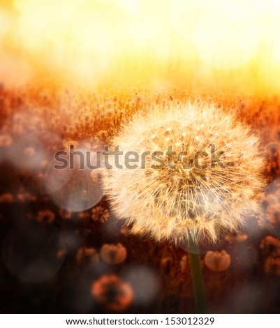 Dandelion in golden sunlight with nice bokeh effect - stock photo