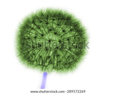 dandelion in green on white - stock photo