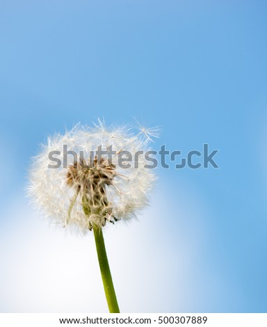 Dandelion in Summer against Blue Sky, with Plenty of Copy Space
