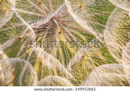 Dandelion in sunset - close up - stock photo