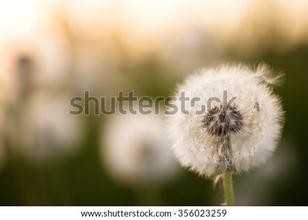 Dandelion in the field, spring season golden atmosphere in the field in a natural world. - stock photo