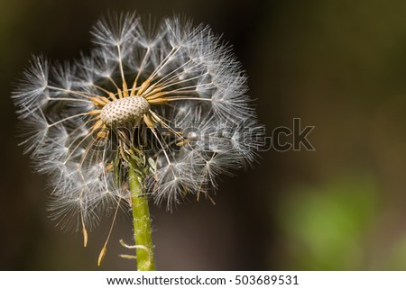 Dandelion in the nature close-up