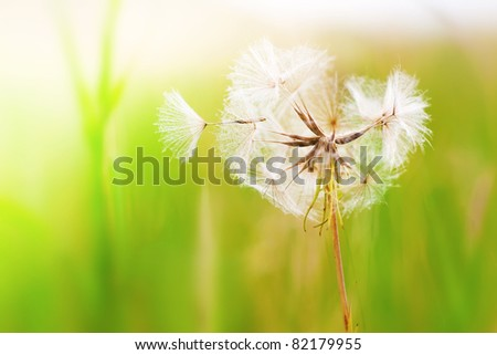 Dandelion In The Wind - stock photo