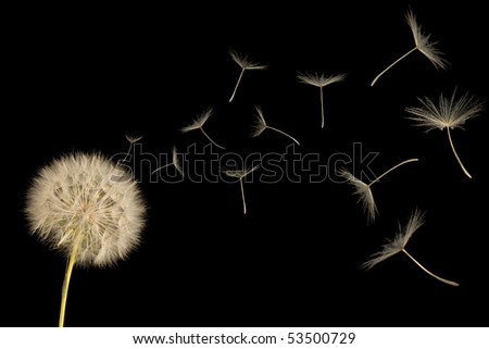 Dandelion in the wind. Isolated on black background. - stock photo
