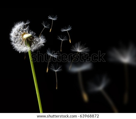 dandelion in the wind on black background - stock photo