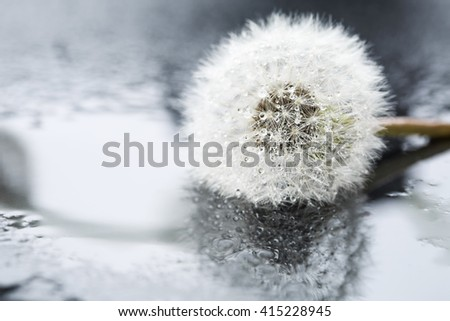 Dandelion in water drops after the rain with reflection, macro. - stock photo