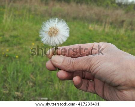 Dandelion in woman hand closeup - stock photo