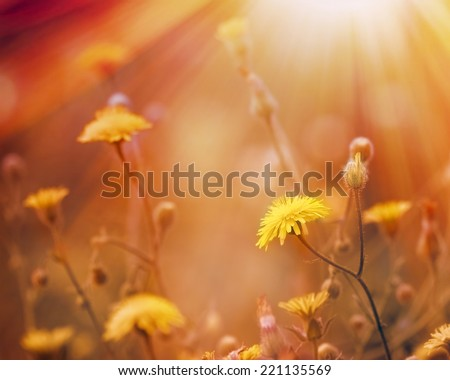 Dandelion is bathed in sunlight - stock photo