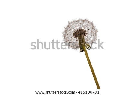 Dandelion isolated in white