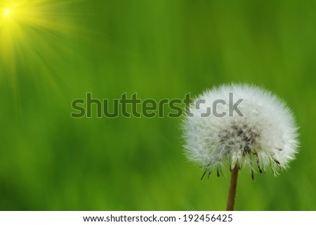 dandelion  isolated on green background  - stock photo