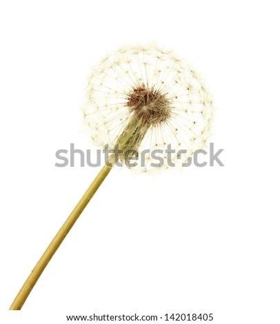 Dandelion isolated on white - stock photo