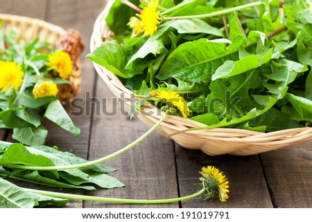 dandelion leaves and flowers - stock photo