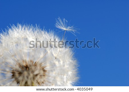 dandelion loosing seed - stock photo