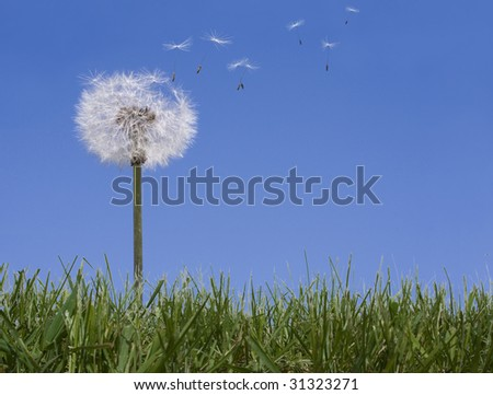 Dandelion losing seeds against a blue sky background in green grass - stock photo