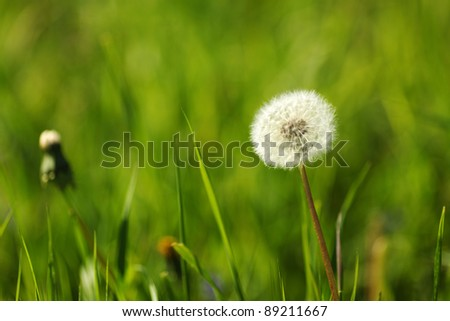 dandelion macro close up - stock photo