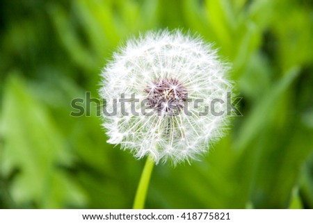 dandelion macro close-up on a green background - stock photo