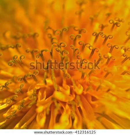 dandelion macro (Taraxacum officinale) - stock photo