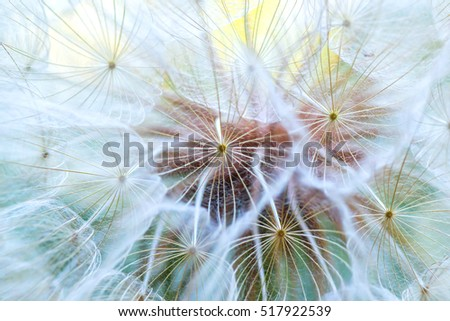 Dandelion macro. The middle of a dandelion. Focus in the center. Blurred and soft color.