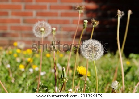 Dandelion near home - stock photo