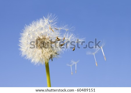 Dandelion offspring detached by the wind isolated on blue sky background - stock photo
