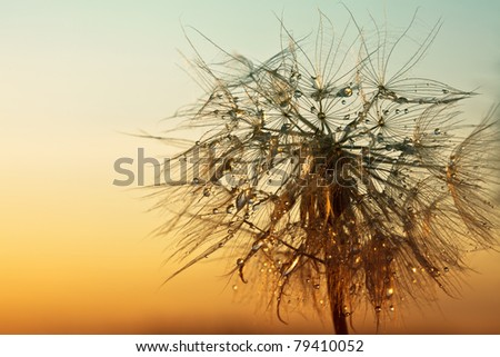dandelion on a background sunset - macro - stock photo